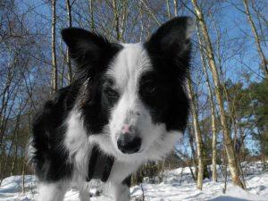 St. Peter-Ording Ferienwohnung Hund: Foto Merlin im Schnee