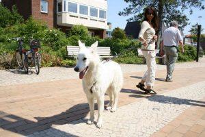 St. Peter-Ording Ferienwohnung Hund: Weißer Schäferhund auf der Promenade in St. Peter-Ording