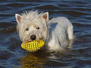 St. Peter-Ording Ferienwohnung Hund: Hund Apollo in der Nordsee